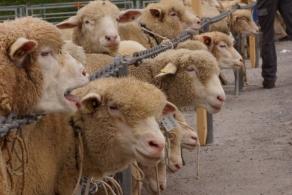 Wetterglück für Schafschau