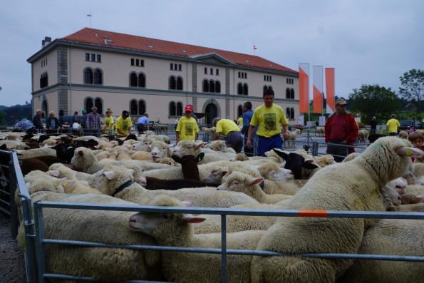 250 schafe und ihre besitzer joggten durch das dorf for Schafe halten im garten