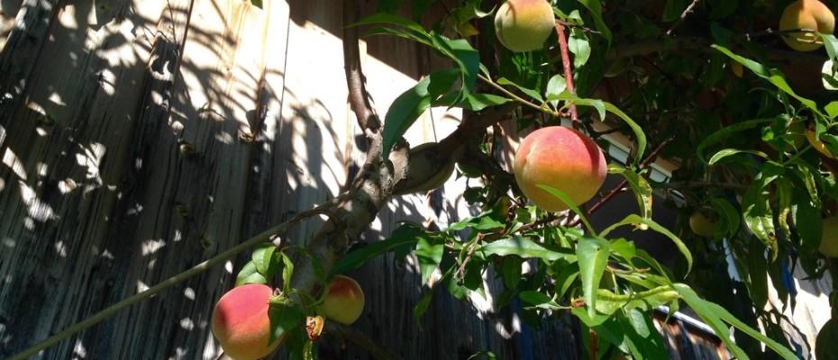 Pfirsiche in Niederteufen