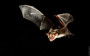 Grosses Mausohr (Myotis myotis) - Nachtflug.  Captive - Studioaufnahme mit Lichtschrankentunnel.