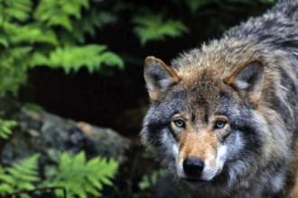 wolfsprojekt-wwf